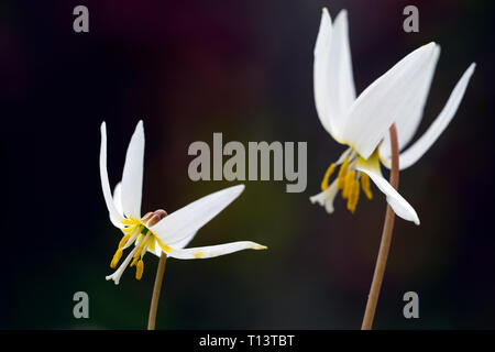 Erythronium caucasicum,fawn lily,dogstooth violet,spring,white,flowers,flowering,clump,wood,woods,woodland,shade,shady,shaded,garden,RM floral - Stock Image