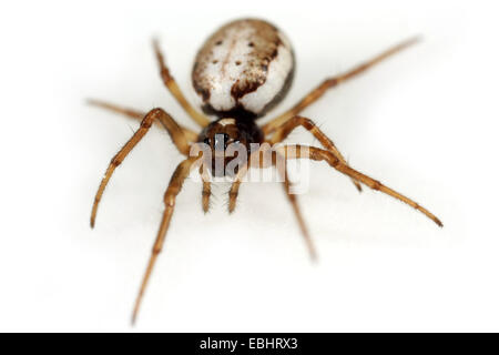 A Female orbweaving spider (Hypsosinga albovittata) on white background. Orbweaving spiders are part of the family - Stock Image
