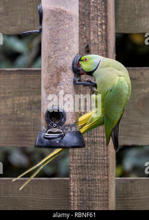Ring-necked Parakeet on a bird feeder.  West Molesey, Surrey, England. - Stock Image