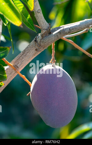 Tropical mango tree with big ripe purple mango fruits growing in orchard on Gran Canaria island, Spain, cultivation of mango fruits on plantation. - Stock Image