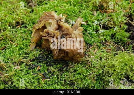 False morel (Gyromitra parma) = (Discina parma) - Stock Image