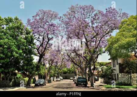 Jacaranda mimosifolia, Blue Jacaranda; Myrtle Street, Santa Ana, CA; 080528_30484 - Stock Image