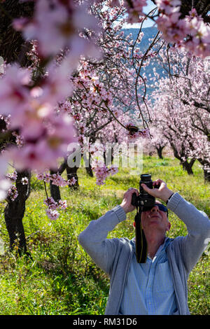 Male photographer shootinglmond tree in blossom, prunus dulcis in the Jalon Valley, Costa Blanca, Spain - Stock Image