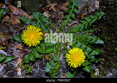 Taraxacum officinale (dandelion) is a flowering plant found in temperate regions of the world in lawns, on roadsides, and on disturbed ground. - Stock Image
