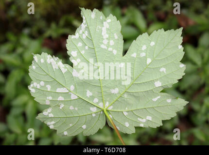 Sycamore leaf affected by Felt Galls caused by the Gall Mite Aceria pseudoplatani syn. Eriophyes pseudoplatani - Stock Image