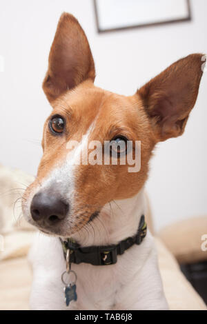 Jack Russell Terrier puppy, Head and shoulders portrait, Looking into camera, England, UK - Stock Image