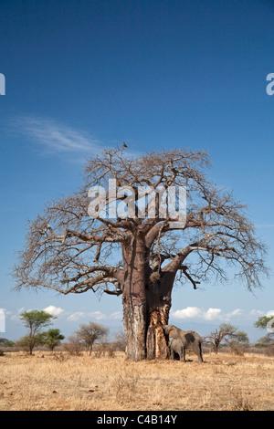 Tanzania, Tarangire. An elephant strips the bark off a baobab in the Tarangire National Park. - Stock Image