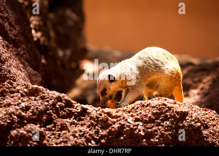 meerkat feeding in sunshine - Stock Image