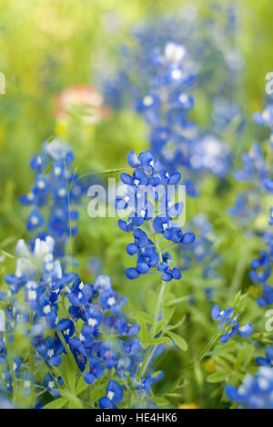 Close up of Texas Bluebonnets flowers - Stock Image