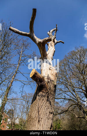 A tree with all branches removed ready for chopping down, white bark against a blue sky. - Stock Image