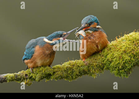 Common kingfisher (Alcedo atthis) adult male feeding minnow to recently fledged juvenile. Worcestershire, England. - Stock Image