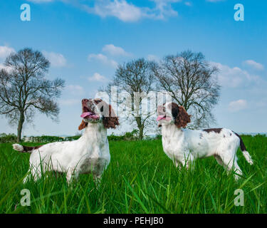 Two English Springer Spaniels (approx 16 week old) sat in a grass field during a walk - Stock Image