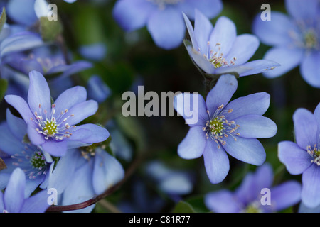 Full frame image of blossom Anemone hepatica (Hepatica nobilis) in spring time. - Stock Image