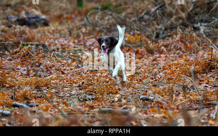 English springer spaniel running with an autumnal background at full speed amongst leaves and ferns. - Stock Image