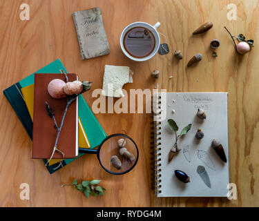 Identifying oak acorns,  the wooden desk of a naturalist working while having a sandwich and tea , top view - Stock Image