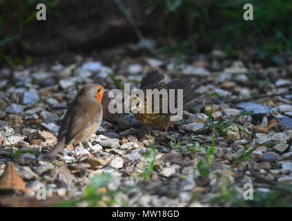 A European robin feeds its young fledgling on the floor. - Stock Image