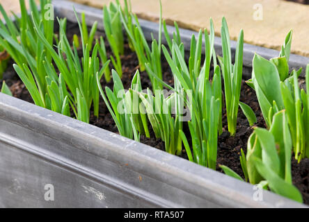 Green shoots of daffodils and tulips in a trough England UK United Kingdom GB Great Britain - Stock Image