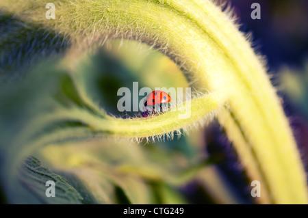 ladybug on sunflower brunch - Stock Image