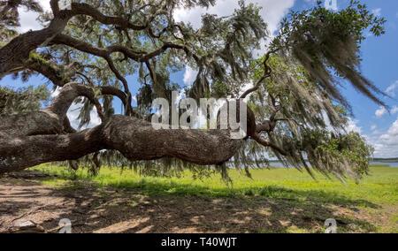 Live Oak tree in Myakka River State Park in Sarasota Florida - Stock Image