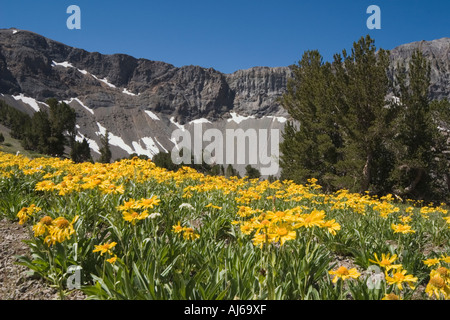Field of orange sneezeweed (Dugaldia hoopesii) wildflowers in bloom at Leavitt Lake, Toiyabe National Forest, California, USA - Stock Image