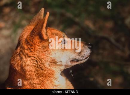 Australian Dingo, (Canis dingo or Canis lupus dingo), Fraser Island or K'gari Island, Queensland, Australia - Stock Image