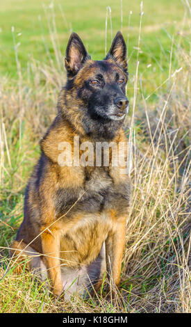 A Belgian Malinoises dog sat in a grass field during a dog training lesson - Stock Image