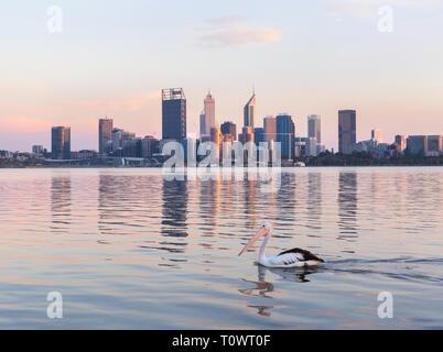 Australian Pelican (Pelecanus conspicillatus) on the Swan River - Stock Image