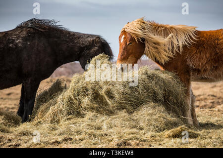 Iclendic horses eating from a hay bale - Stock Image