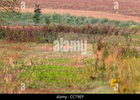 European Red Fox (Vulpes vulpes), on meadow, Lower Saxony, Germany - Stock Image