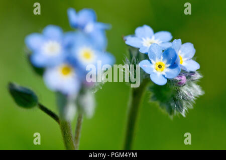 Field Forget-me-not (myosotis arvensis), or Common Forget-me-not, close up of a flowering stem with another out of focus. - Stock Image