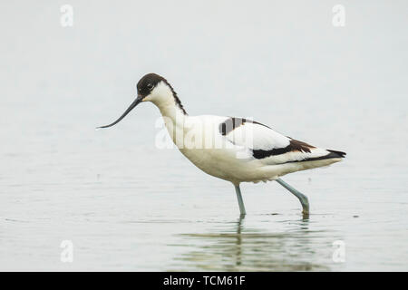Close-up of a Pied Avocet, Recurvirostra avosetta, standing foraging in the water - Stock Image