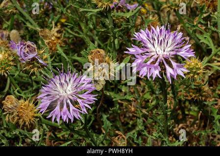 Centaurea barrasii is a species of arid, coastal habitats in the Mediterranean region. The picture was taken in Andalucia (Spain). - Stock Image