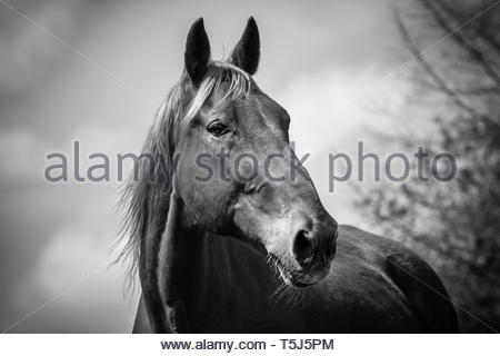A Latvian warm blood horse called aaron - Stock Image