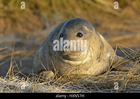 Atlantic grey seal (Halichoerus grypus) pup. Donna Nook, Lincolnshire. UK. January. - Stock Image