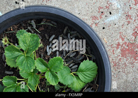 Strawberry plant in pot with guinea pig poo as mulch. - Stock Image