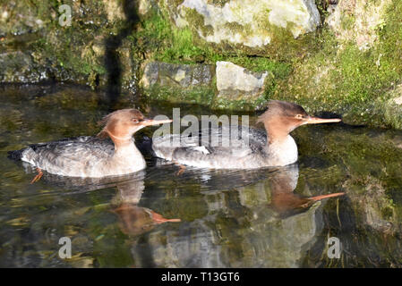 Two juvenile Red-breasted Mergansers (Mergus serrator) swimming in a small stream in Southern England - Stock Image