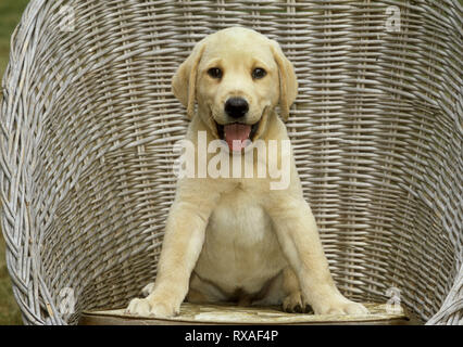 Yellow Labrador Retriever Puppy sitting in wicker chair, front legs splayed. Big smile. - Stock Image