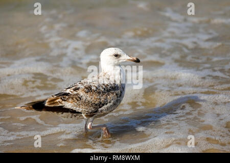 Lonely wild bird goes through the shallow water of the Baltic Sea in Kolobrzeg, Poland. - Stock Image