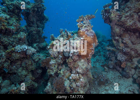 Few living remnants remain on dying coral reefs in the Red Sea. Southern Egypt. - Stock Image
