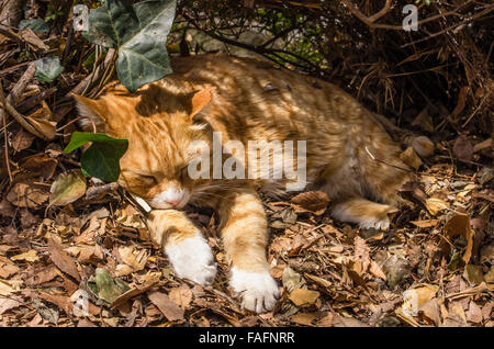 Stray cat sleeping in the sun in Ueno Park, Tokyo, Japan - Stock Image