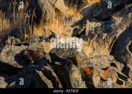 Greenland. Scoresby Sund. Gasefjord. Gasegletscher. Redpoll (Acanthis flammea) resting on a rock. - Stock Image