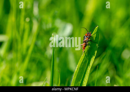 Soldier beetle (Cantharis) on a blade of grass, Essex - Stock Image