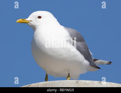 A Mew Gull on top of a light post in Anchorage, Alaska - Stock Image