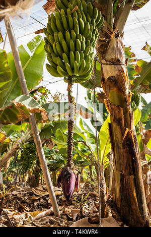Banana tree with fruit and flower in a plantation at Playa San Juan, Tenerife, Canary Islands, Spain - Stock Image