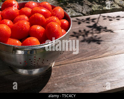 Freshly picked and washed tomatoes in a colander in the sunshine. - Stock Image