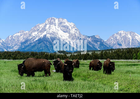 A herd of bison in a field with Mt. Moran in the background in Grand Teton National Park near Jackson Hole, Wyoming USA. - Stock Image