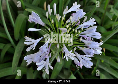 Agapanthus arficanus, African Lily, Lily of the Nile, Mission Viejo, CA 080517_30299 - Stock Image