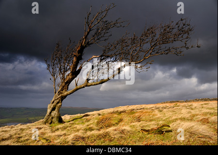 A windswept lone tree at Nab End above Silsden in Airedale. - Stock Image