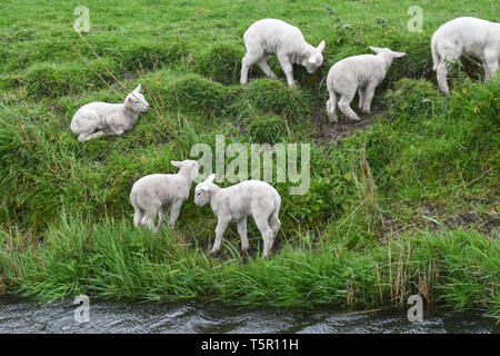 Burnham on sea, Somerset, UK. UK Weather. Gale force winds from Storm Hannah were blowing in from the west coast this morning, with these lambs seeking shelter on the bank of a river near Burnham-on Sea. Credit: Simon Maycock/Alamy Live News - Stock Image