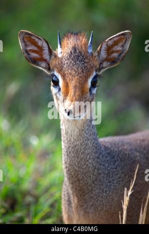Tanzania, Serengeti. Portraits of the shy Dik-dik. - Stock Image